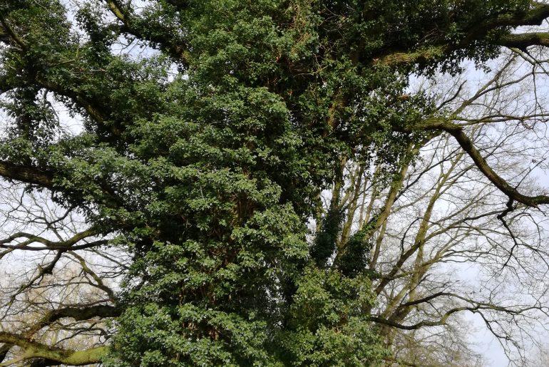 Man kann vor lauter Efeue (?) den Baum kaum sehen