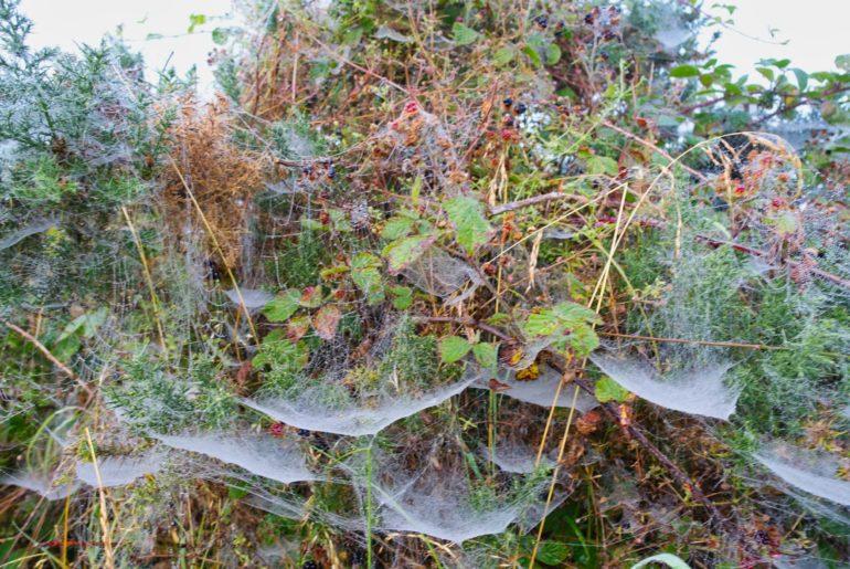Morgentau verfängt sich in den Spinnenweben der Büsche am Wegesrand
