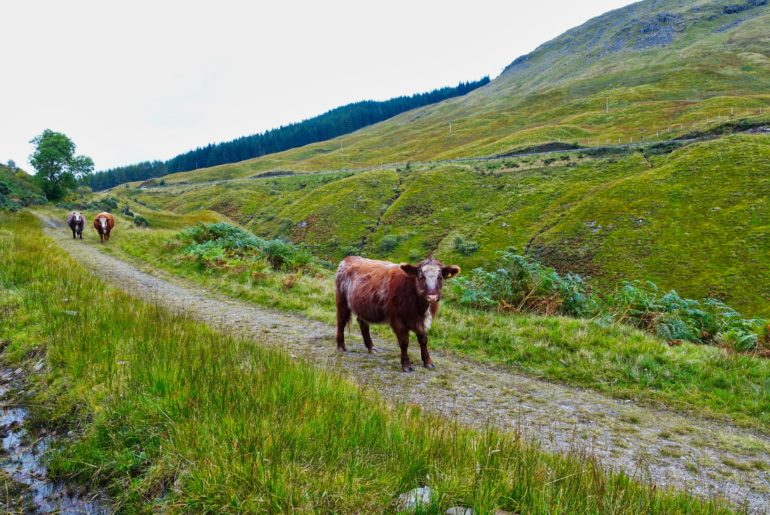 Die ersten freilaufenden Kühe auf unserer Wanderung
