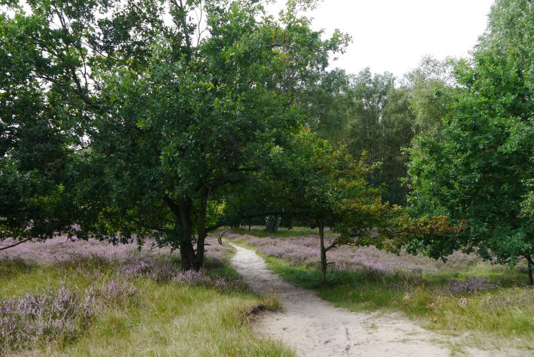 Sand der Düne, Heidekraut und Wald vereint