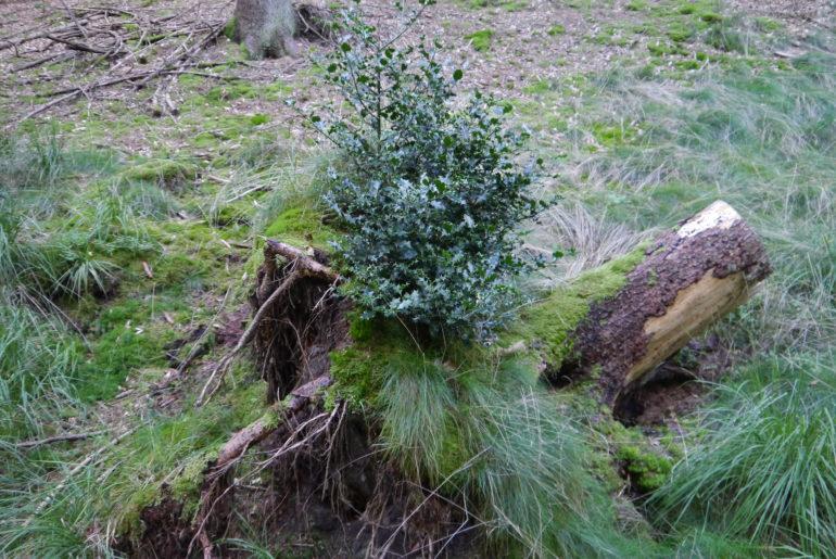 Eine Stechpalme übernimmt einen Baumstumpf